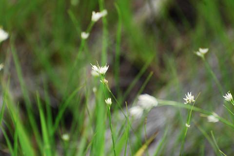 ミカヅキグサの白い花が