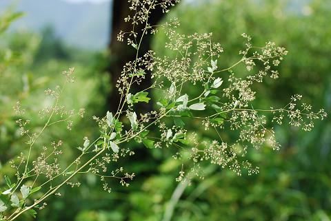 アキカラマツの花が
