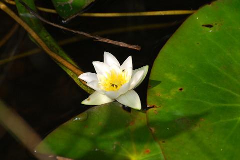 ヒツジグサに一輪の花