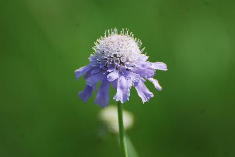 淡い紫のマツムシソウ
