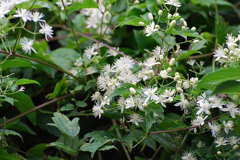 キンギンボクの白い花