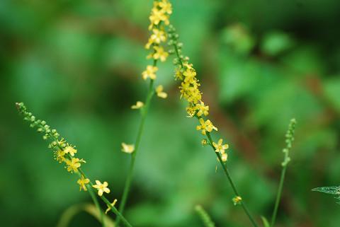 キンミズヒキの黄色の花は