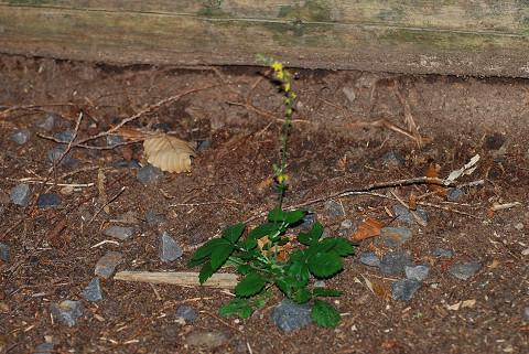 キンミズヒキの葉も