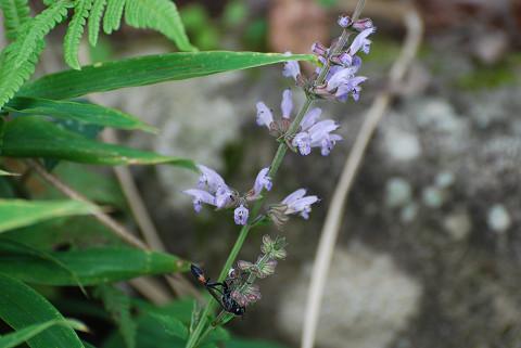 アキノタムラソウの花は