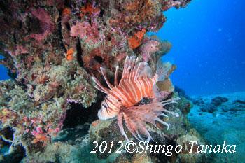 タオ島、ダイビング、ミノカサゴ