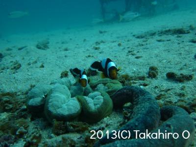 タオ島 トウアカクマノミ
