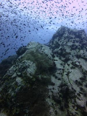タオ島 サウスウエストピナクル クロリボンスズメダイ
