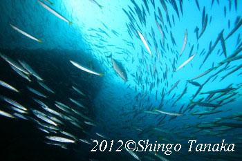 タオ島、ダイビング、バラクーダ
