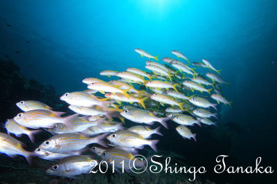 シミラン諸島、魚の群れ