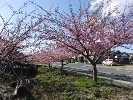 2011.3.2 河津桜 1