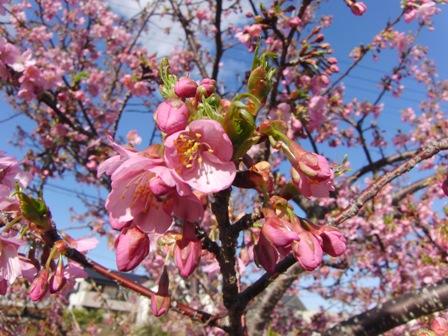 2011.3.2 河津桜 2