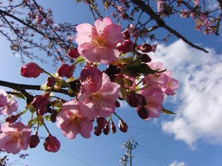 2011.3.2 河津桜 3
