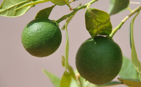 Garden 2011 Lime Tree