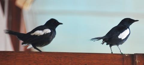 Seychells Magpie Robin