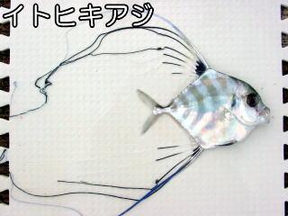 itohikiaji2.jpg