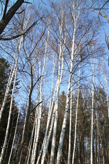 039白樺の林