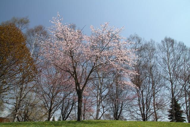 024淡い桜全景