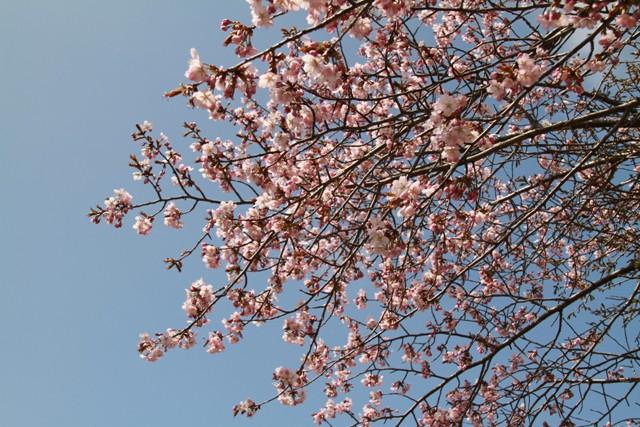 014家の近くの桜2