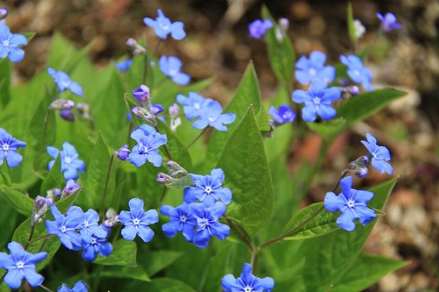 006ブルーの花