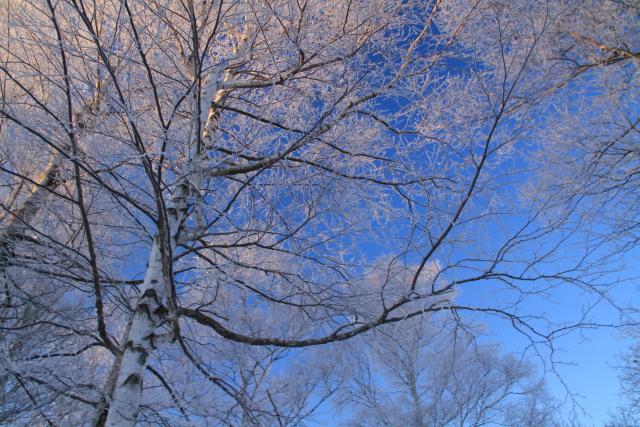 139白樺の樹氷