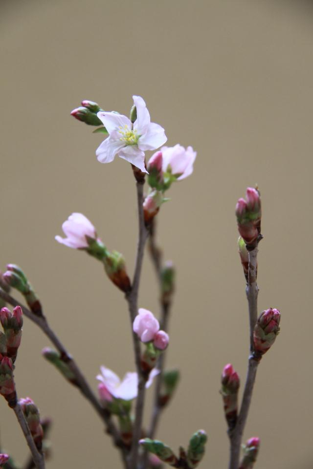 021みちのく初桜