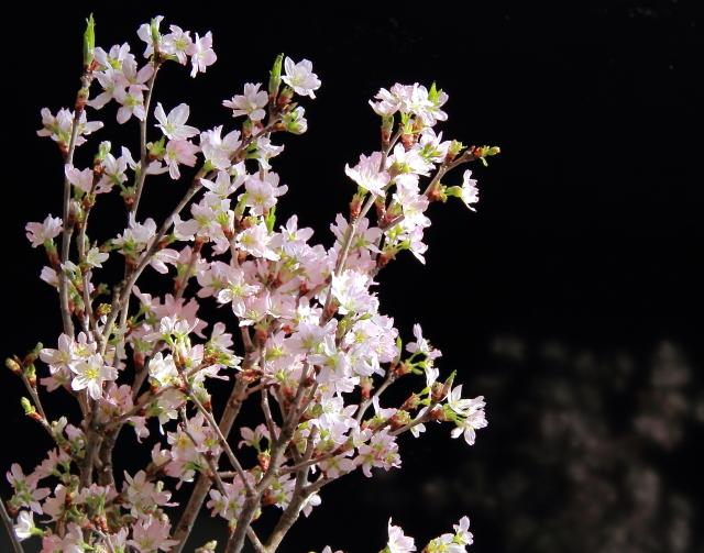 004満開の初桜