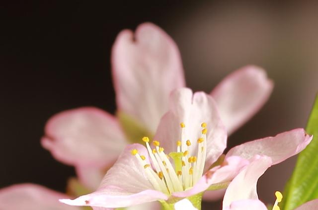 020初桜の シベ
