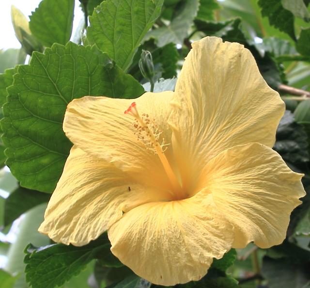 574ハワイで見たハイビスカス