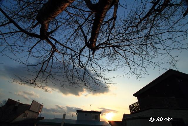 015赤く映る桜の樹