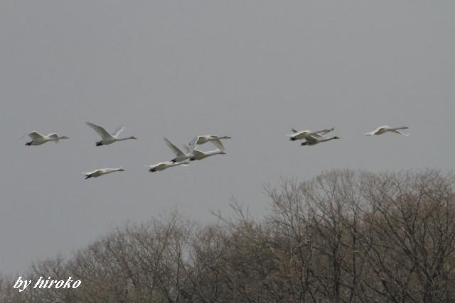 076白鳥