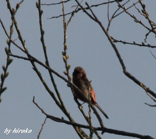 015赤い鳥は何鳥?