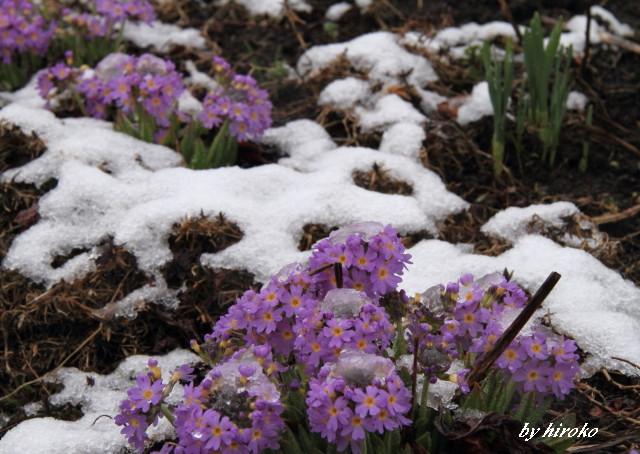 041サクラソウも雪の中