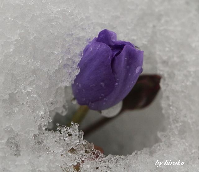 022雪の中のタツタソウ