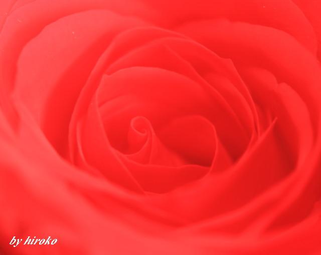 039深紅のバラ
