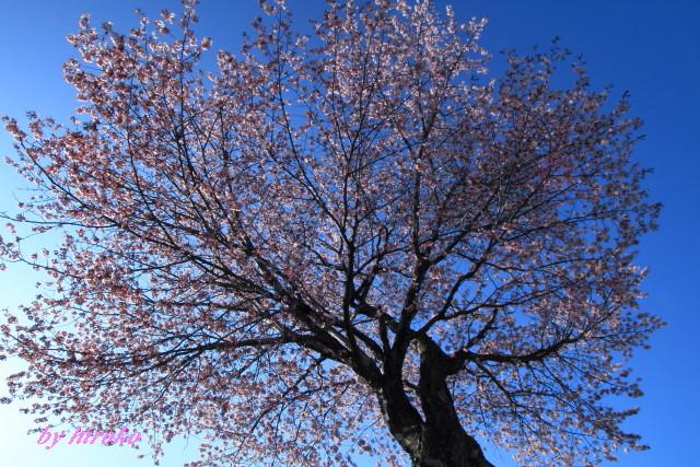 086一気に咲いた桜