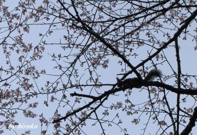 012桜の中にママちゃんリス