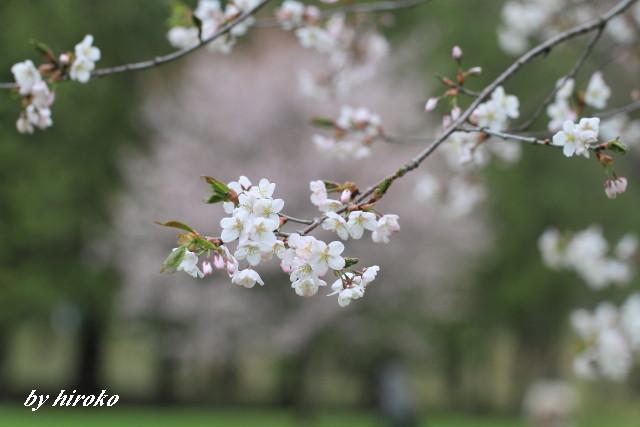 491美しき桜