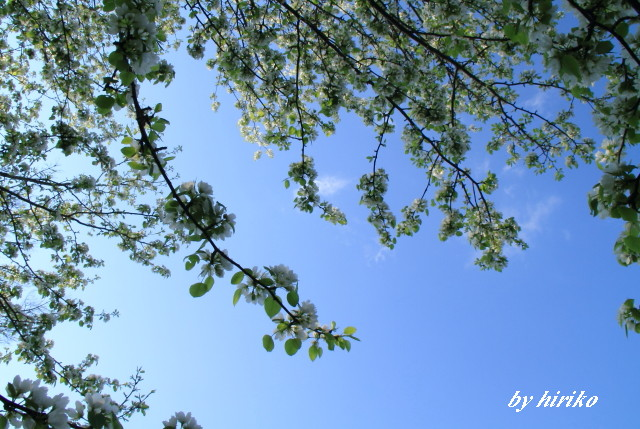 189青空に映える白い花