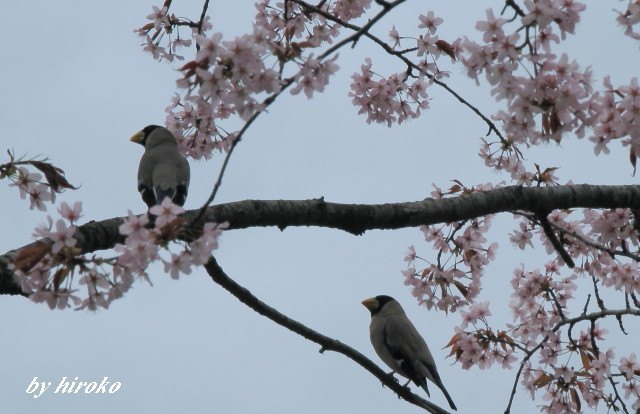 260桜の樹に止まるイカル