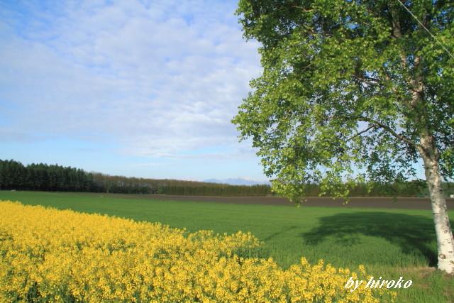042小麦畑と菜の花畑そして白樺の新緑