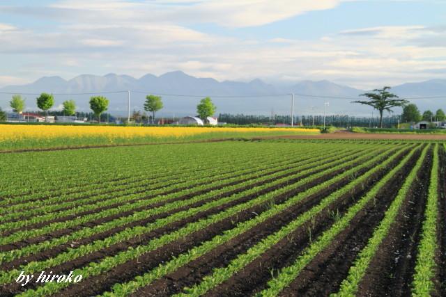 031きれいな畝のビート畑と菜の花畑