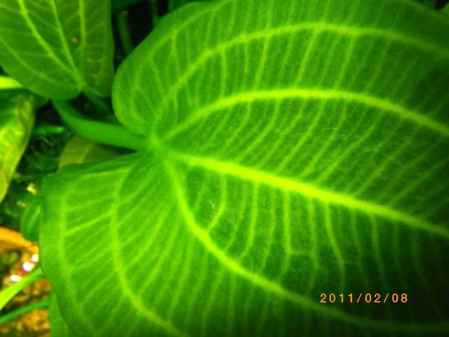 エキノドルスsp. サターン サントアグストの葉