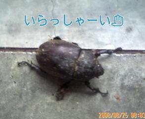 カブトムシ(メス)