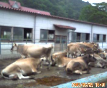 ジャージー牛の集団