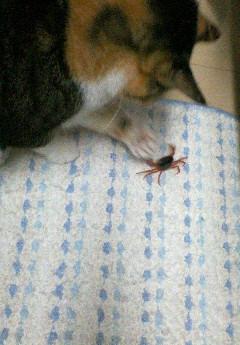 カニさんと桜