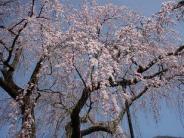 近所の枝垂桜