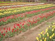 花見山のチューリップ園