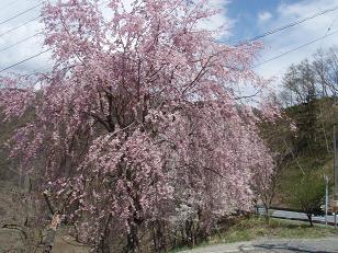 いまさらですが、桜です
