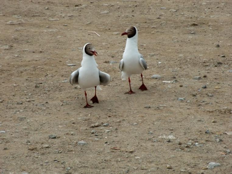 仲良しのカモメちゃん -海鸭