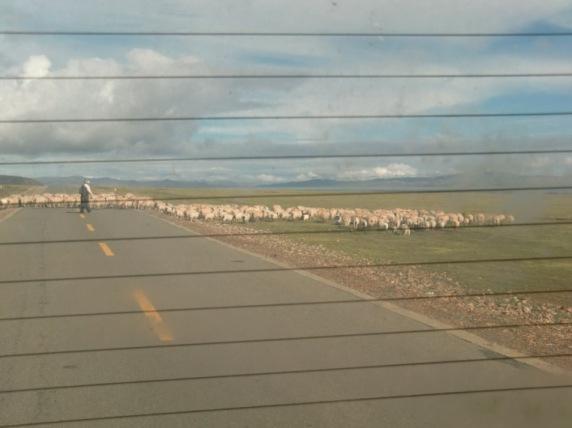 横切る羊群
